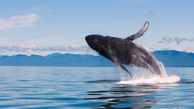 A pesquisa do WWF analisou informações sobre 3,7 mil espécies de vertebrados desde 1970. Foto: James Forte/National Geographic Creative