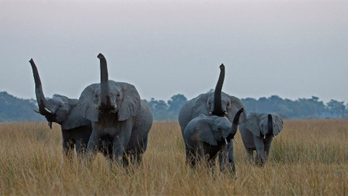 A população de elefantes africanos diminuiu drasticamente com o aumento da caça ilegal, afirma o estudo. Foto: Beverly Joubert/National Geographic Creative